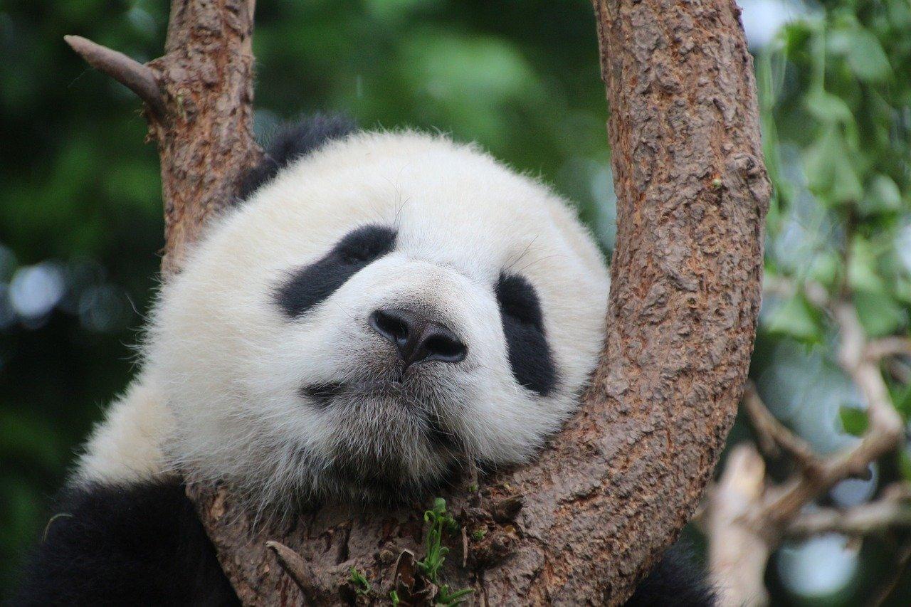 panda, panda bear, sleep